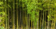 bamboo forest dividers