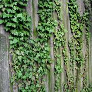 honeysuckle fenceline