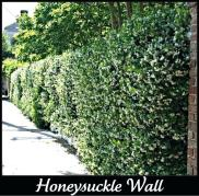 honeysuckle wall